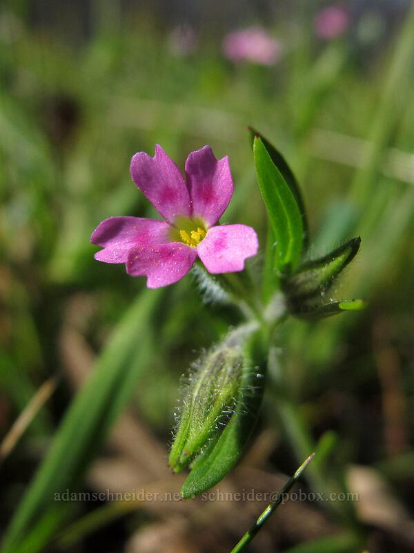 slender phlox (midget phlox) (Microsteris gracilis (Phlox gracilis)) [Memaloose Hills, Wasco County, Oregon]