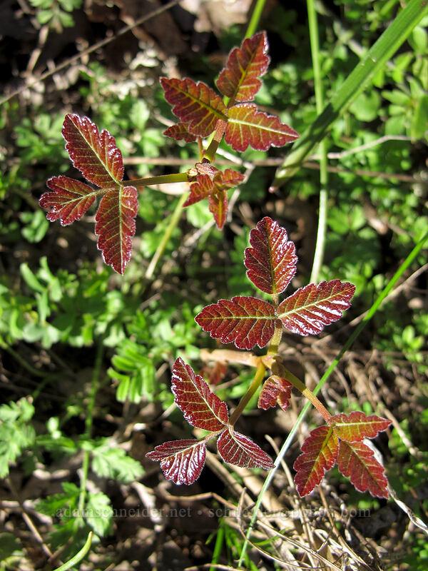 poison-oak (Toxicodendron diversilobum (Rhus diversiloba)) [Memaloose Hills, Wasco County, Oregon]