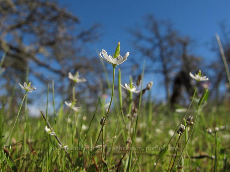 Oregon meconella (white fairy-poppy) (Meconella oregana) [Memaloose Hills, Wasco County, Oregon]