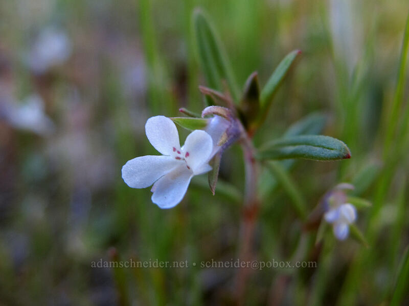 small-flowered blue-eyed-Mary, white form (Collinsia parviflora) [Memaloose Hills, Wasco County, Oregon]