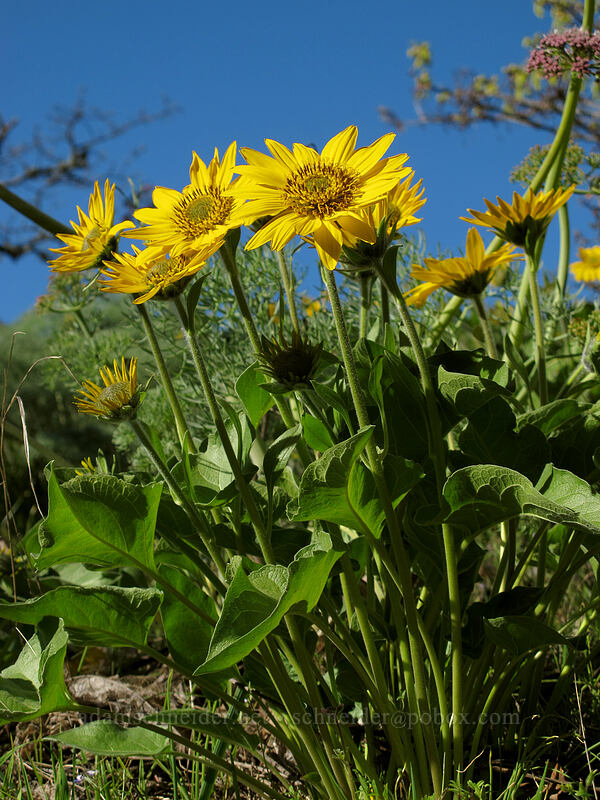 balsamroot (Balsamorhiza careyana) [Memaloose Pinnacles, Wasco County, Oregon]