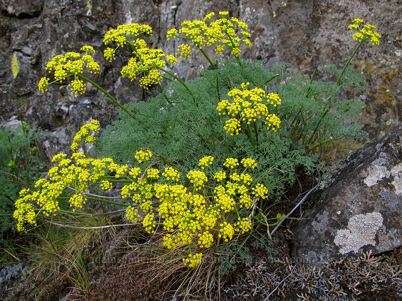 pungent desert parsley (Lomatium grayi) [Memaloose Pinnacles, Wasco County, Oregon]