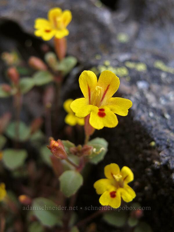 chickweed monkeyflower (Mimulus alsinoides) [Memaloose Pinnacles, Wasco County, Oregon]