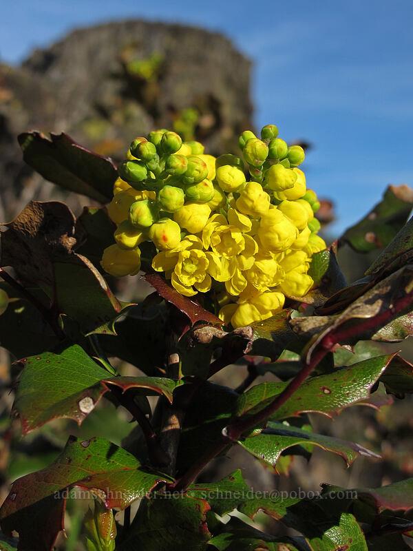 Oregon-grape flowers (Mahonia sp. (Berberis sp.)) [Memaloose Pinnacles, Wasco County, Oregon]