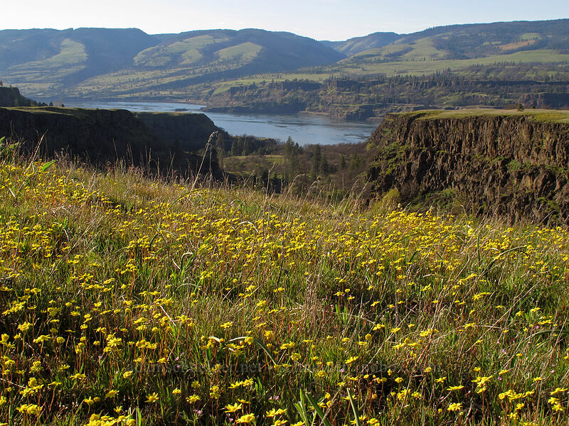gold stars & Rowena Dell (Crocidium multicaule) [Tom McCall Preserve, Wasco County, Oregon]