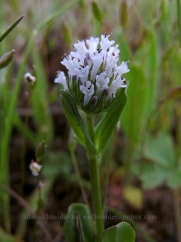white plectritis (Plectritis macrocera) [Tom McCall Preserve, Wasco County, Oregon]