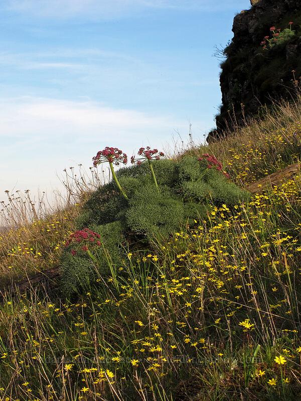 gold stars & Columbia desert parsley (Crocidium multicaule, Lomatium columbianum) [Tom McCall Preserve, Wasco County, Oregon]