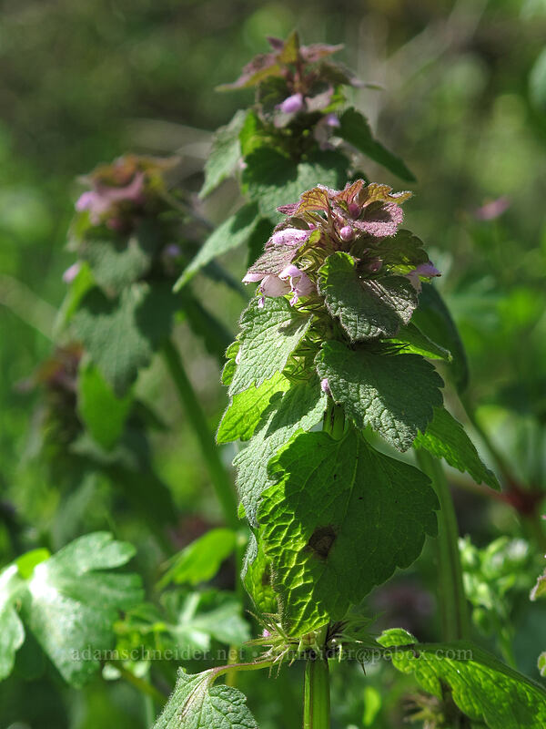 purple dead-nettle (Lamium purpureum) [Camassia Natural Area, West Linn, Oregon]