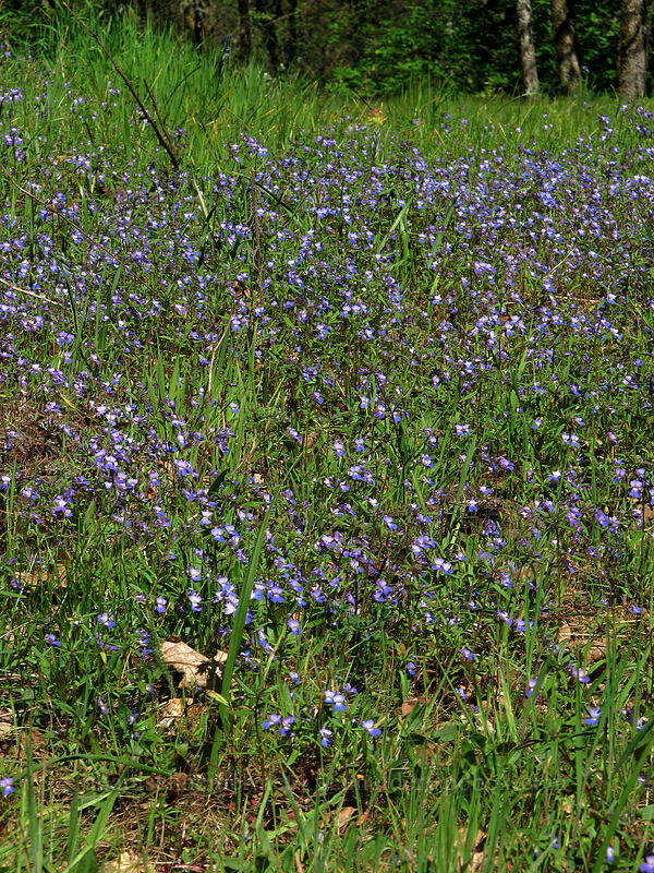 large-flowered blue-eyed-Mary (Collinsia grandiflora) [Camassia Natural Area, West Linn, Oregon]
