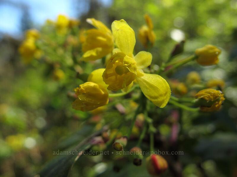 Oregon-grape flowers (Mahonia aquifolium (Berberis aquifolium)) [Camassia Natural Area, West Linn, Oregon]