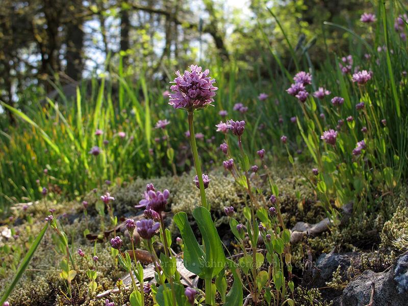 rosy plectritis (Plectritis congesta) [Camassia Natural Area, West Linn, Oregon]