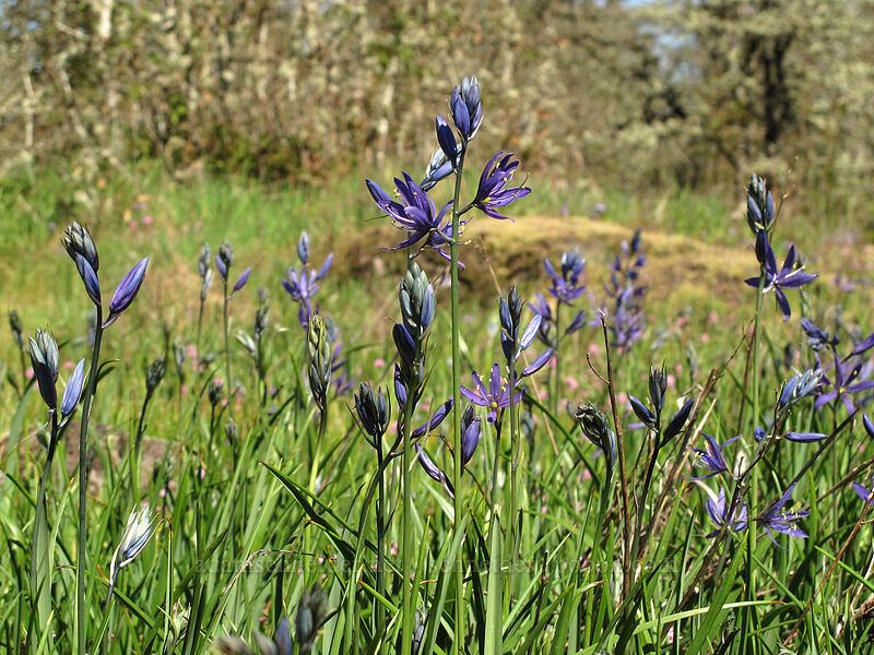 camas (Camassia quamash) [Camassia Natural Area, West Linn, Oregon]