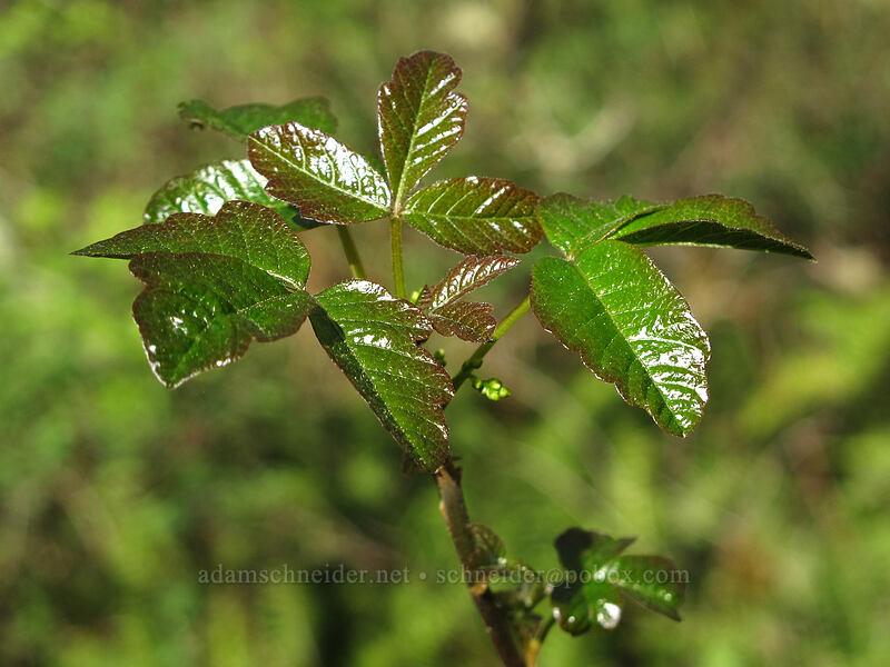 poison-oak (Toxicodendron diversilobum (Rhus diversiloba)) [Camassia Natural Area, West Linn, Oregon]