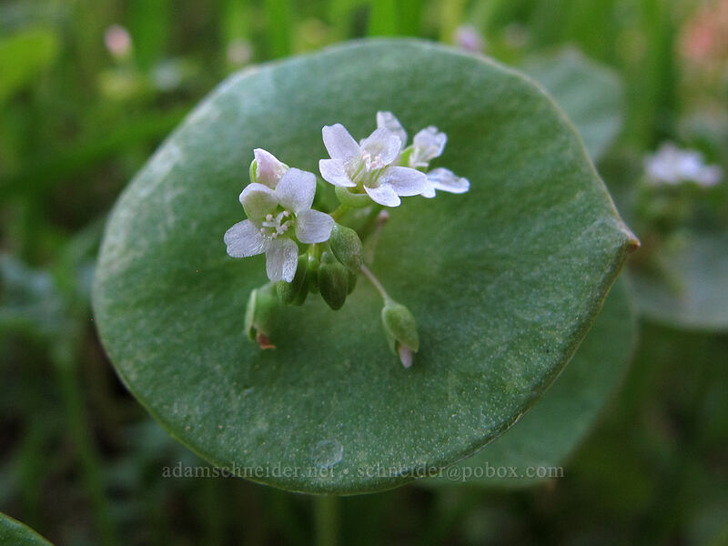 miner's lettuce (Claytonia perfoliata) [Camassia Natural Area, West Linn, Oregon]