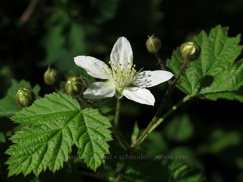 trailing blackberry (Rubus ursinus) [Camassia Natural Area, West Linn, Oregon]