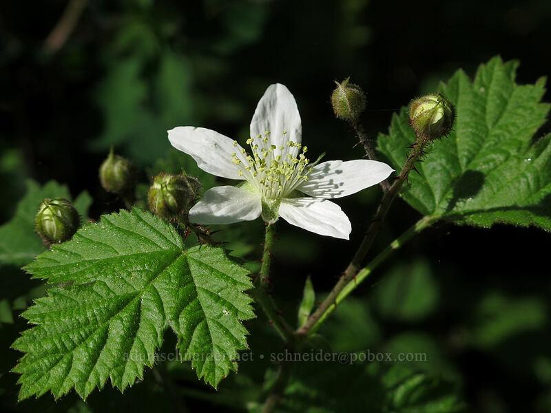 trailing blackberry (Rubus ursinus) [Camassia Natural Area, West Linn, Oregon]