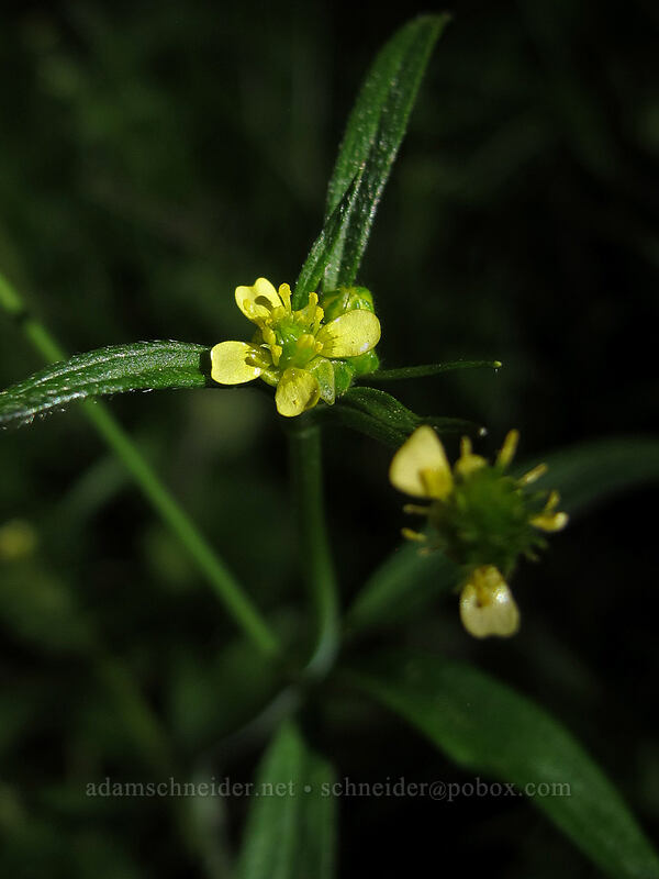 little buttercup (Ranunculus uncinatus) [Camassia Natural Area, West Linn, Oregon]