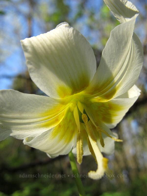 Oregon fawn-lily (Erythronium oregonum) [Camassia Natural Area, West Linn, Oregon]