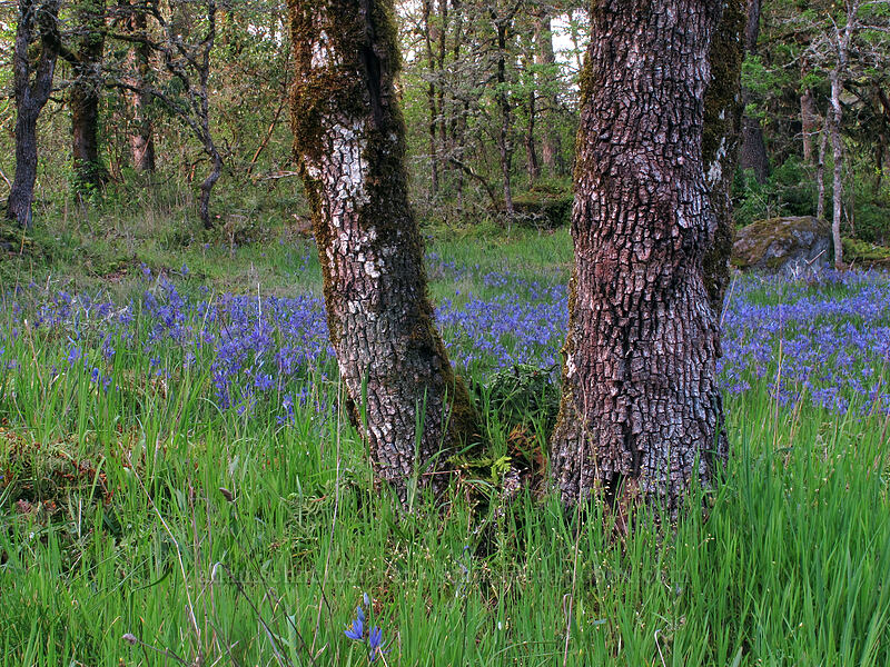 camas & oak trees (Camassia quamash) [Camassia Natural Area, West Linn, Oregon]