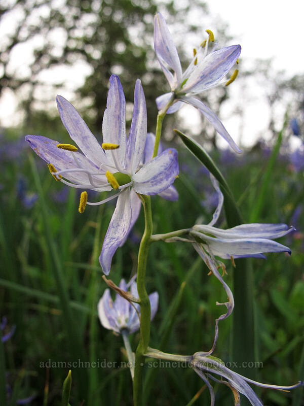 white camas with blue spots (Camassia quamash) [Camassia Natural Area, West Linn, Oregon]