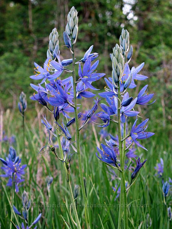 great camas (Camassia leichtlinii ssp. suksdorfii) [Camassia Natural Area, West Linn, Oregon]