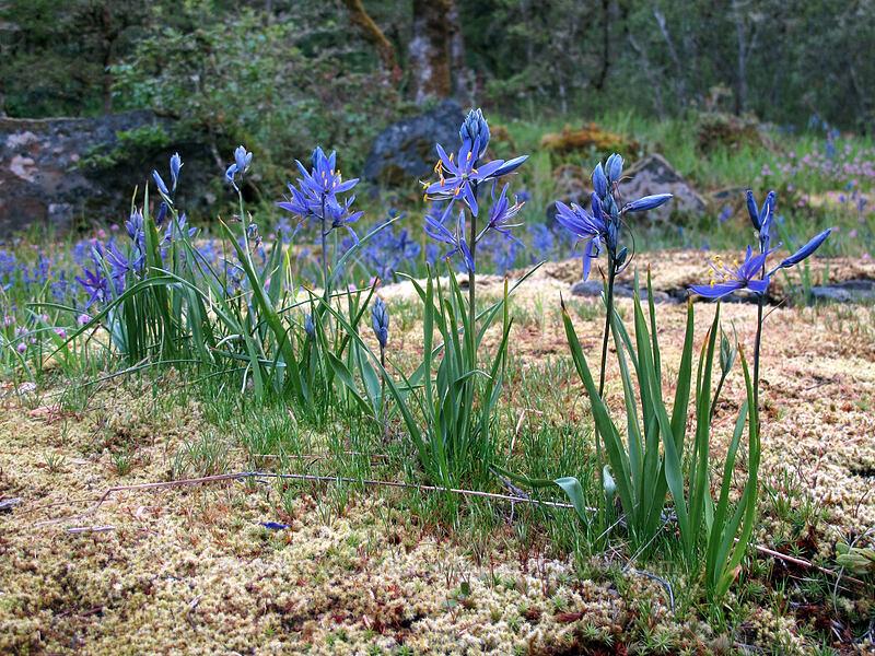 camas in a row (Camassia quamash) [Camassia Natural Area, West Linn, Oregon]