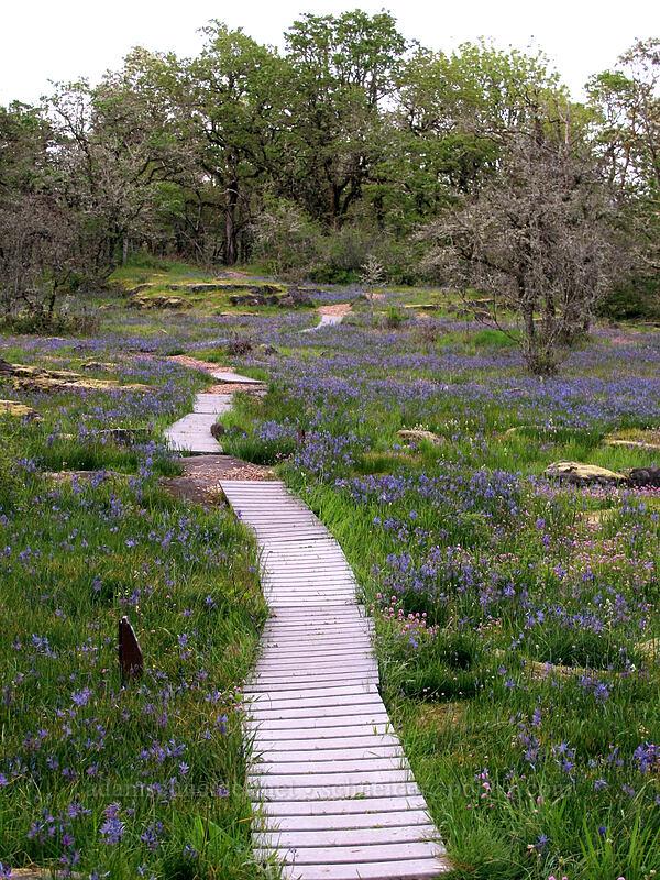 trail through camas (Camassia quamash) [Camassia Natural Area, West Linn, Oregon]