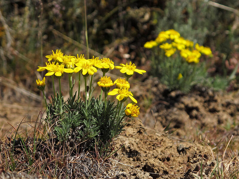 narrow-leaf goldenweed (Nestotus stenophyllus (Haplopappus stenophyllus)) [L.T. Murray Wildlife Area, Kittitas County, Washington]