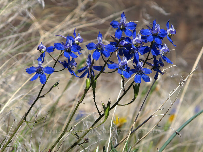 upland larkspur (Delphinium nuttallianum) [Ancient Lakes Trail, Grant County, Washington]