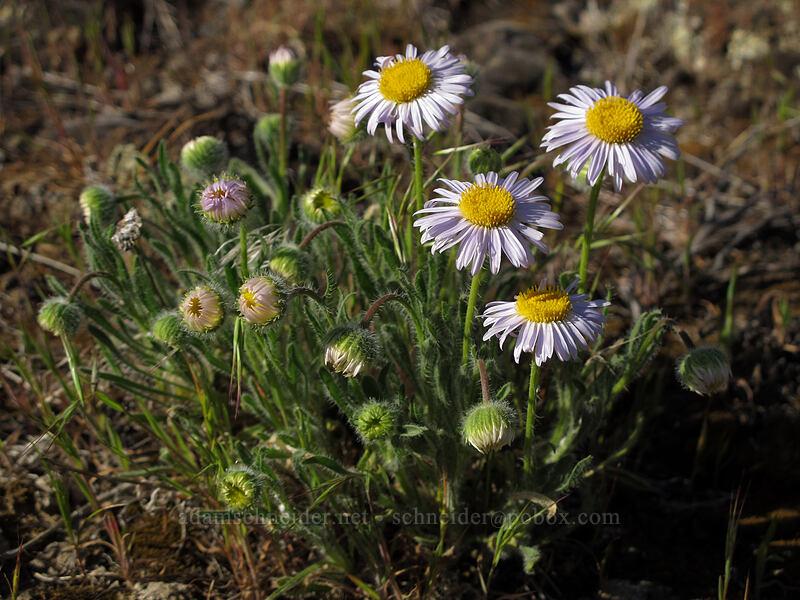cushion fleabane (Erigeron poliospermus) [Ancient Lakes Trail, Grant County, Washington]