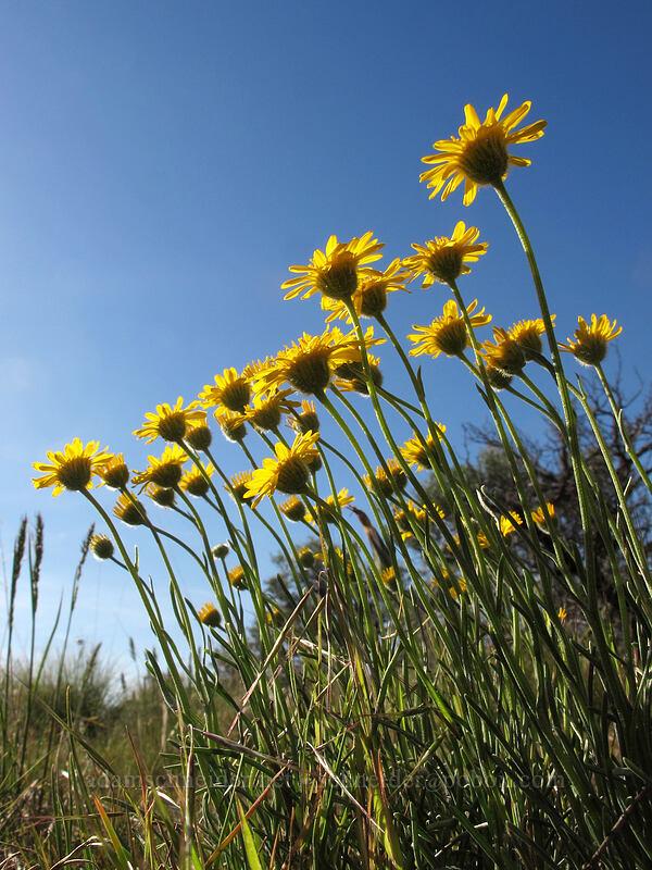 desert yellow daisy (Erigeron linearis) [Ancient Lakes Trail, Grant County, Washington]