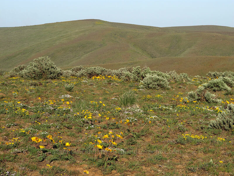 wildflowers & hills [Beezley Hills Preserve, Grant County, Washington]