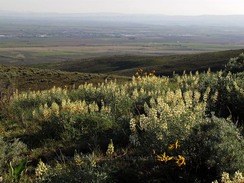sulphur lupine (Lupinus sulphureus) [Beezley Hills Preserve, Grant County, Washington]