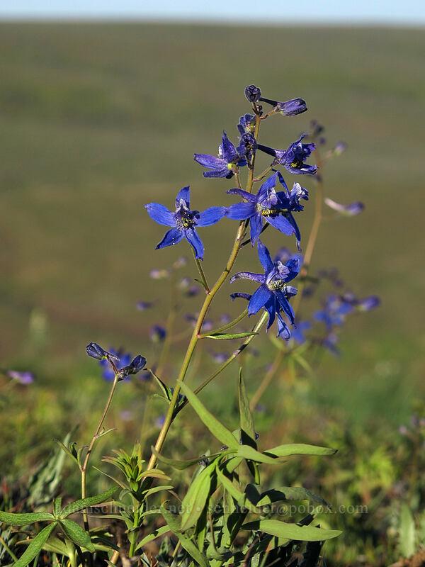 upland larkspur (Delphinium nuttallianum) [Beezley Hills Preserve, Grant County, Washington]