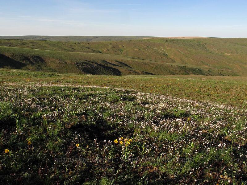 Hooker's balsamroot & prairie stars (Balsamorhiza hookeri, Lithophragma sp.) [Beezley Hills Preserve, Grant County, Washington]