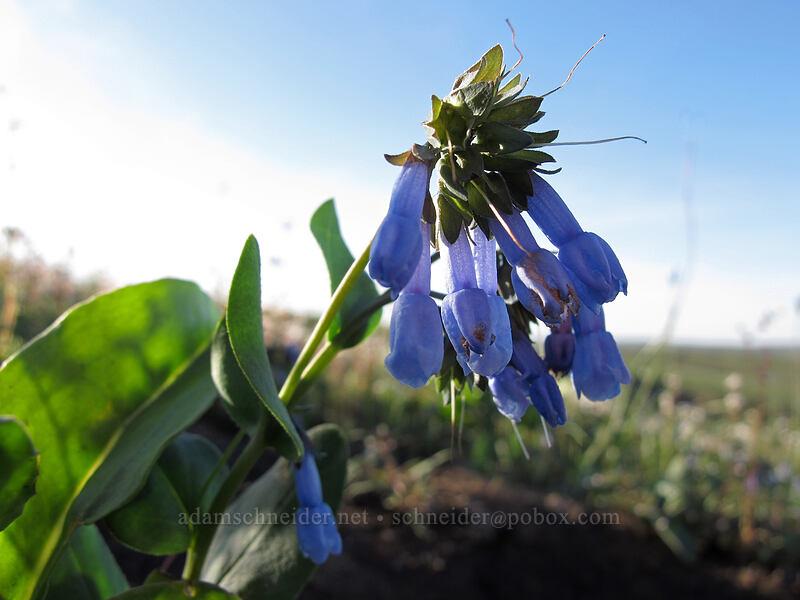 small bluebells (Mertensia longiflora) [Beezley Hills Preserve, Grant County, Washington]