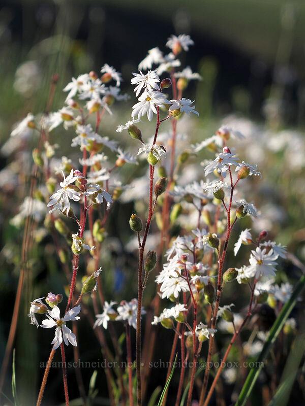 prairie stars (Lithophragma sp.) [Beezley Hills Preserve, Grant County, Washington]