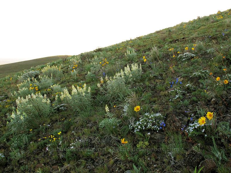 wildflowers (Lupinus sulphureus, Balsamorhiza hookeri, Delphinium nuttallianum, Phlox sp.) [Beezley Hills Preserve, Grant County, Washington]