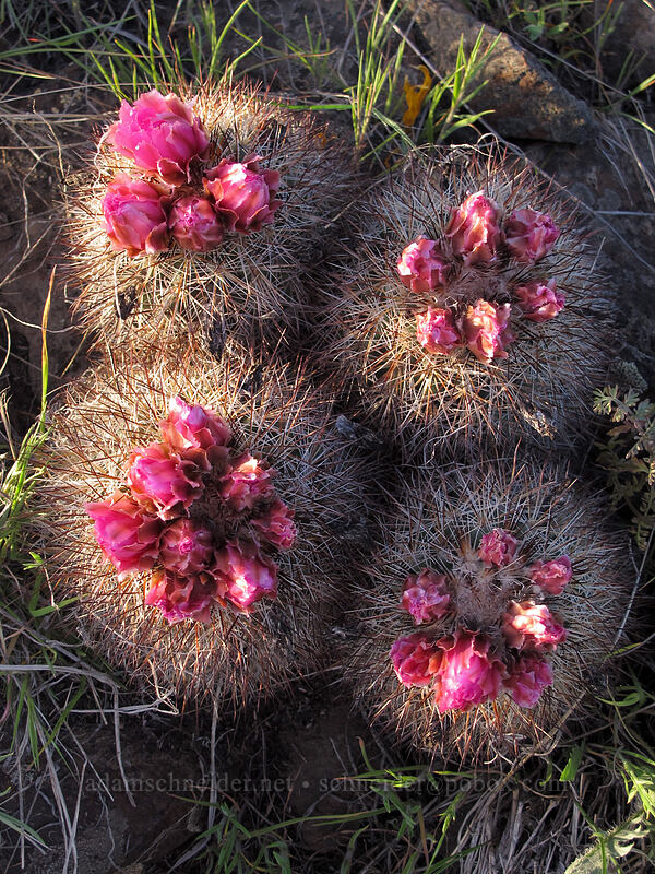 hedgehog cactus (snowball cactus) (Pediocactus nigrispinus (Pediocactus simpsonii)) [Beezley Hills Preserve, Grant County, Washington]