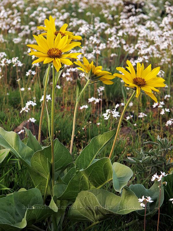 arrow-leaf balsamroot & prairie stars (Balsamorhiza sagittata, Lithophragma sp.) [Beezley Hills Preserve, Grant County, Washington]