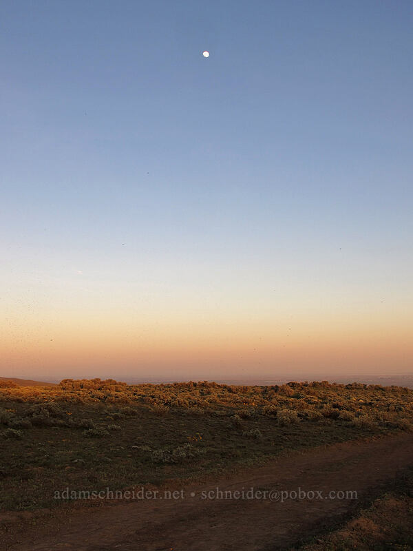 moonrise over sagebrush (Artemisia tridentata) [Beezley Hills Preserve, Grant County, Washington]