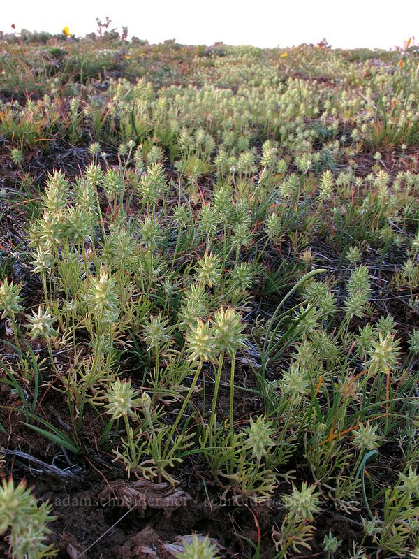 horn-seed buttercup (bur buttercup) (Ceratocephala testiculata (Ranunculus testiculatus)) [Beezley Hills Preserve, Grant County, Washington]
