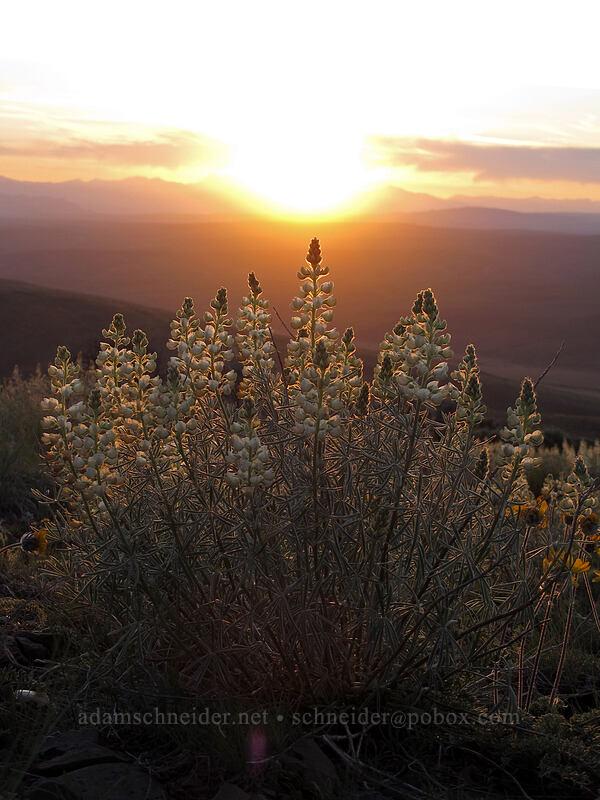 sulphur lupine (Lupinus sulphureus) [Monument Hill, Grant County, Washington]