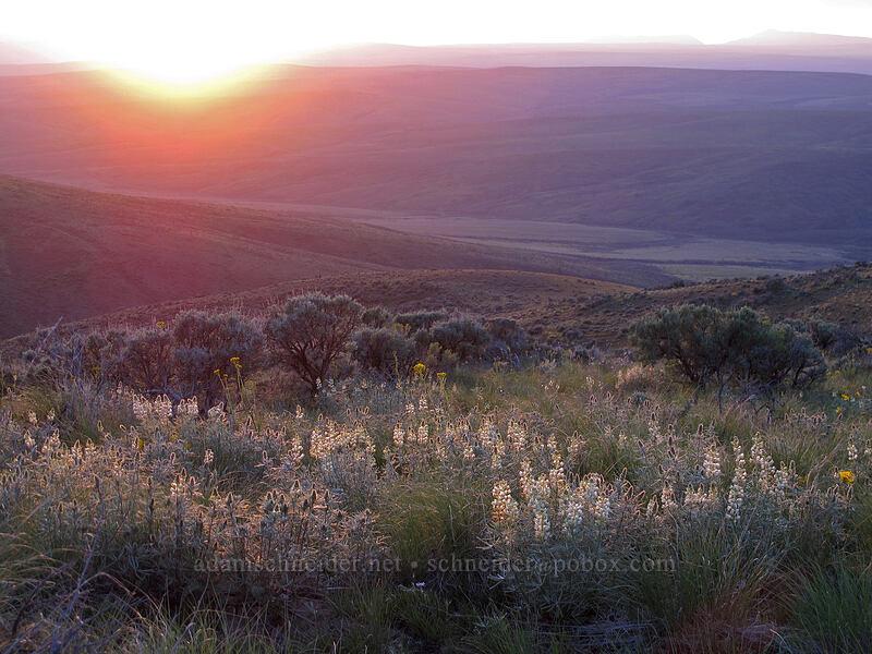sulphur lupine & sagebrush (Lupinus sulphureus) [Monument Hill, Grant County, Washington]