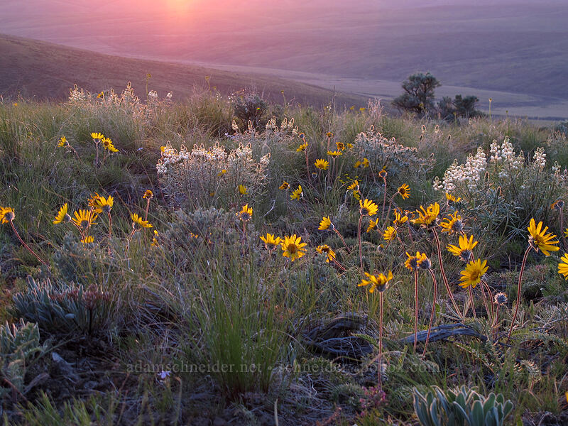 Hooker's balsamroot & sulphur lupine (Balsamorhiza hookeri, Lupinus sulphureus) [Monument Hill, Grant County, Washington]