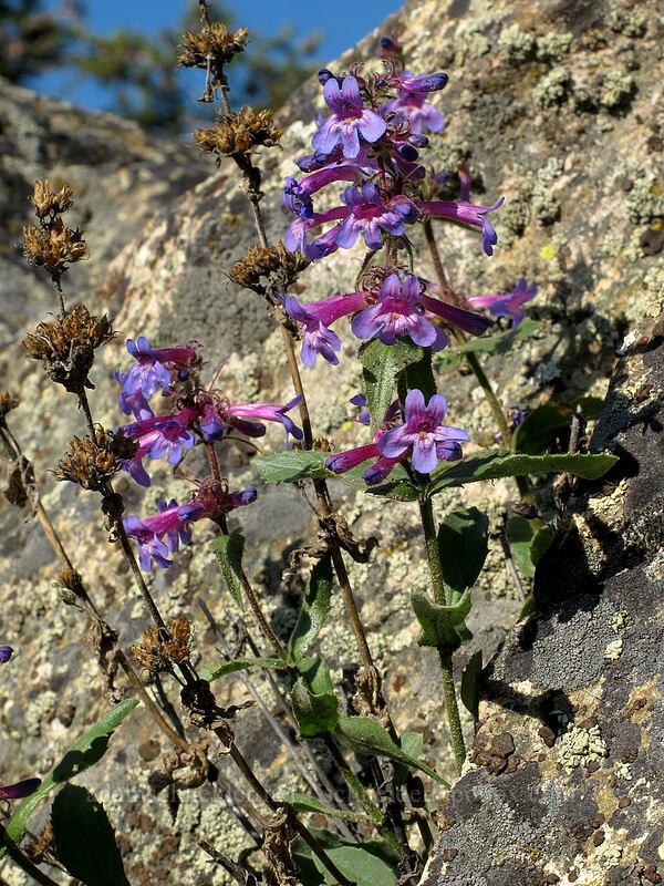 Chelan penstemon (Penstemon pruinosus) [Gorge Road, Chelan Falls, Washington]
