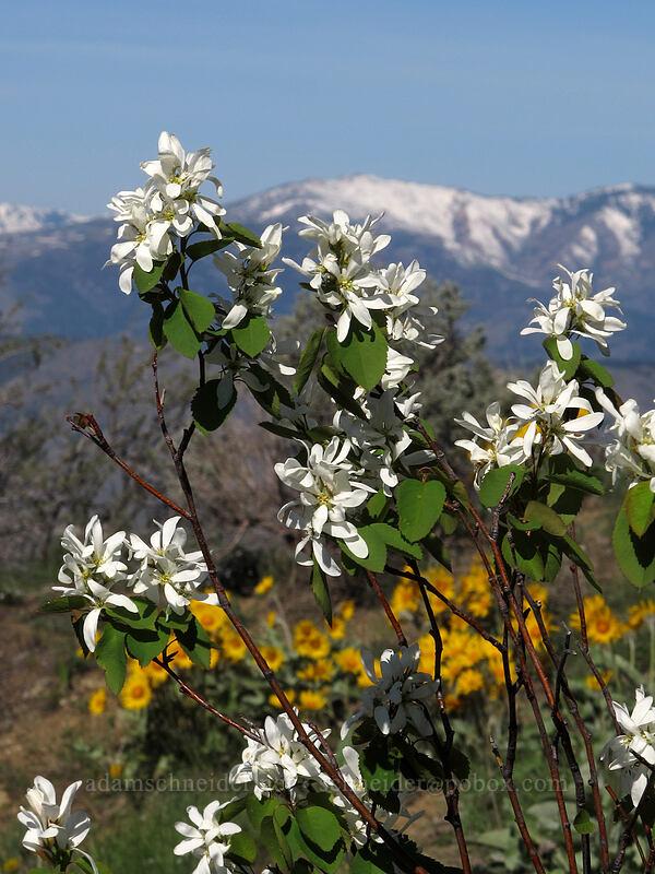 serviceberry flowers (Amelanchier alnifolia) [Chelan Butte, Chelan County, Washington]