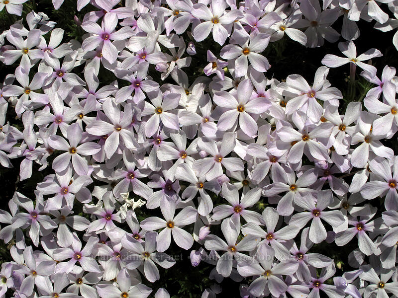 tufted phlox (Phlox caespitosa) [Chelan Butte, Chelan County, Washington]