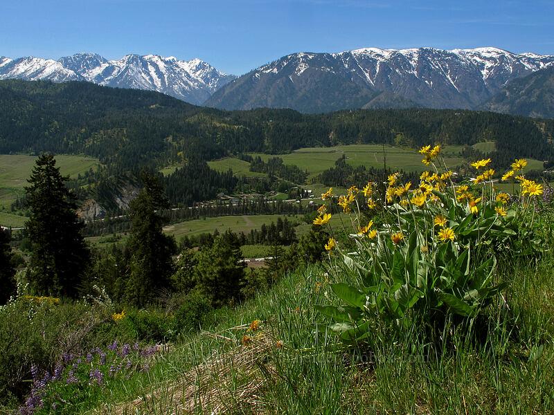 Enchantments, Icicle Ridge, & balsamroot (Balsamorhiza sagittata) [Sauer's Mountain Trail, Peshastin, Washington]