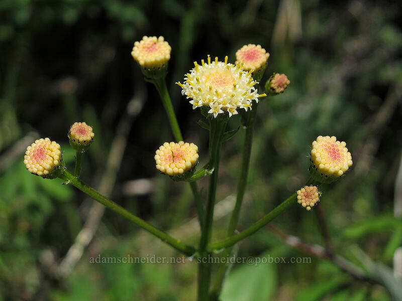 tall western groundsel? (Senecio integerrimus) [Sauer's Mountain Trail, Peshastin, Washington]